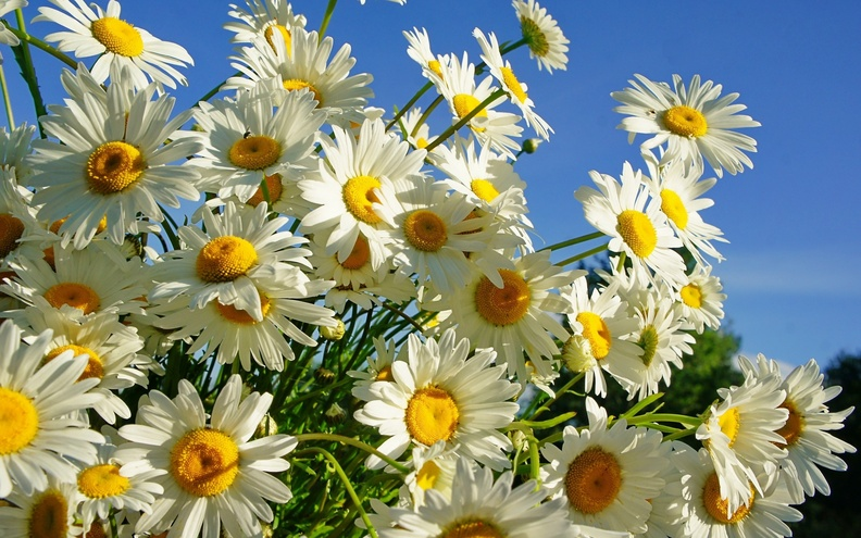 Beautiful_White_Daisies.jpg