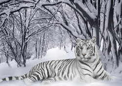 Winter White Tiger
