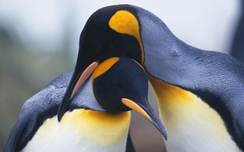 Romantic_Penguins_Macro_Full_HD.jpg