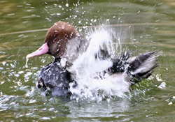 Pochard Triumphant