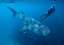 WHALESHARK DEEP AT THE OCEAN