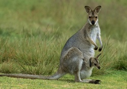 Mama and Baby Kangaroo