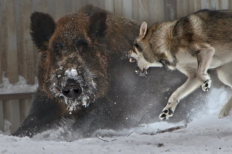 Wolf Vs Boar Download Hd Wallpapers And Free Images