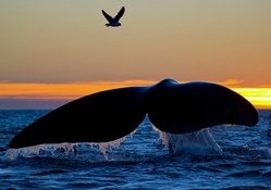 Whale Diving at Sunset