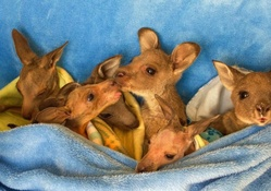 Orphaned joeys