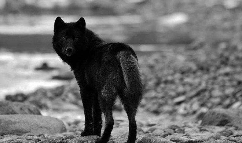 Black wolf wallpaper hd free