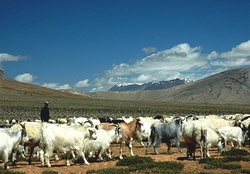 Blue sheep of Himalayas