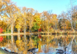 geese on a beautiful pond in autumn