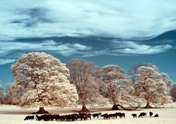 cows grazing on a winter pasture