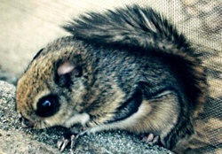 momonga(flying squirrel)