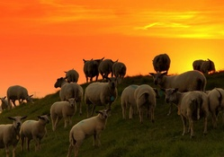 Sheeps at sunset