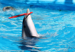 Dolphine Hoop Playing