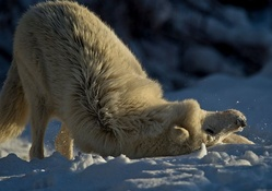 Playful white wolf