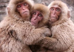 __japanese macaque