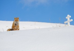 Dutch harbor fox