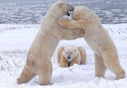 Polar bears playing in Canada