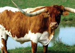 longhorn_cattle
