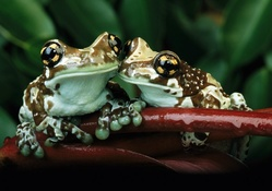 frogs couple