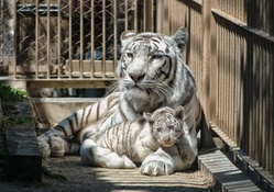 *** Tiger family ***