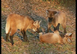 Maned Wolf Pups Playing