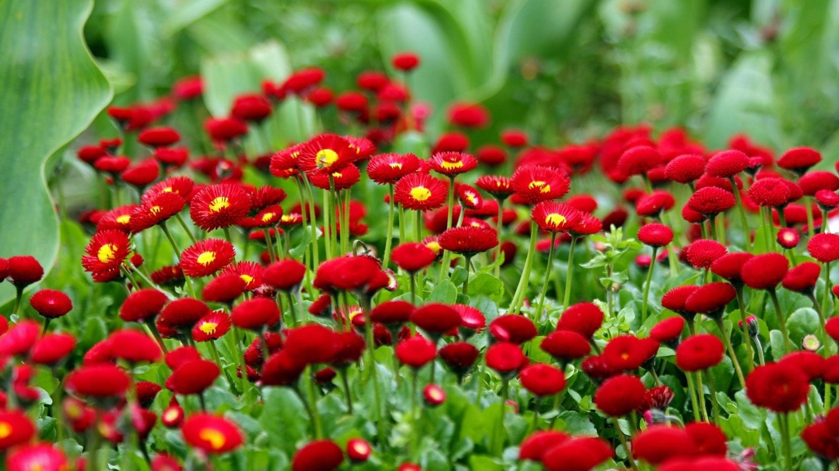 Выращивание Фрезии в домашних условиях 65
