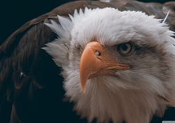Fierce eagle
