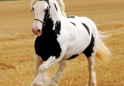 Animal wallpaper horses wallpapers download hd wallpapers and gypsy blue altavistaventures Gallery