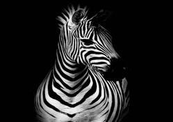 Zebras Wallpapers