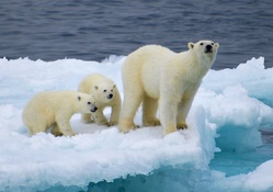 Polar Bear Family on Ice Flow