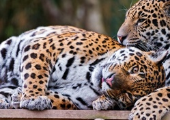 Cute_jaguar