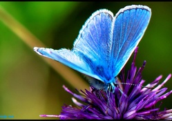 THE MYSTICAL BLUE BUTTERFLY