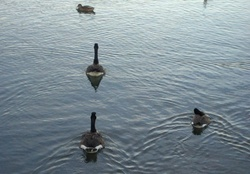 Ducks and Canadian Geese