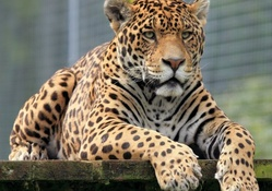 Jaguar king