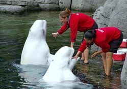Beluga Whales at Vancouver Aquarium