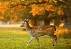Deer stag in autumn evening light