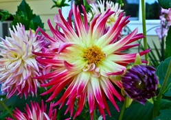 Yellow Pink Spider Dahlia