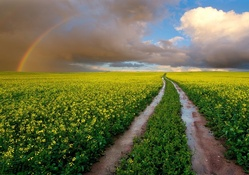 Rainbow over Canola Field