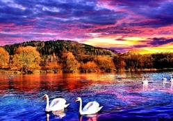 SWANS AT LAKE SUNSET
