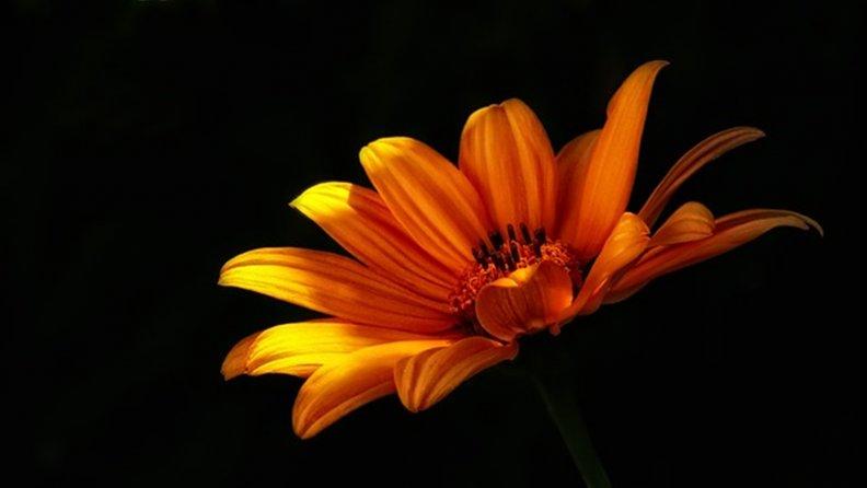 Оранжевый цветок на черном фоне