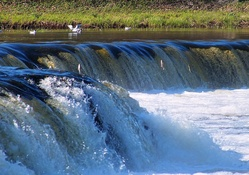 Fishes jumps over Venta waterfall.