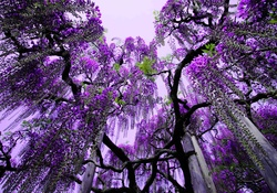Purple Blossom Tree