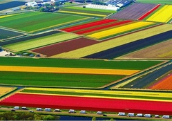 Tulip_National_Farm_Netherlands.