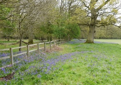 Fence and Bluebells 1