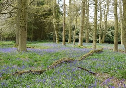 Fallen Tree and Bluebells.