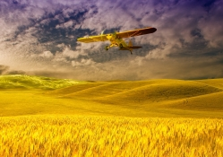 Cub over Fields of Gold